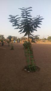 Les arbres plantés commencent à bien pousser