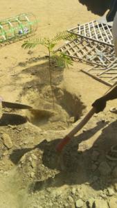 Plantation en cours au Sahel, Burkina-Faso